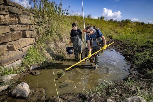 Waterschap laat vissen wegvangen in droogvallende beken