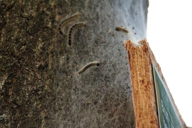 Vierdaagse waarschuwt voor eikenprocessierups