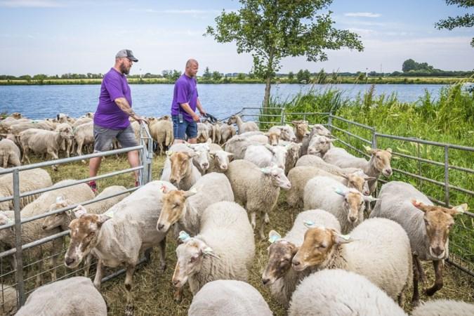 Vijftien uur lang vrijwillig schapen 'opzetten' in Geijsteren