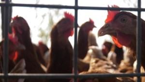 'Voedsel- en Warenautoriteit heeft niet gefaald in fipronilcrisis'