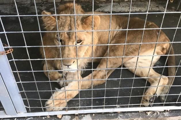 Verwaarloosde leeuw Simba komt aan op vliegveld Beek