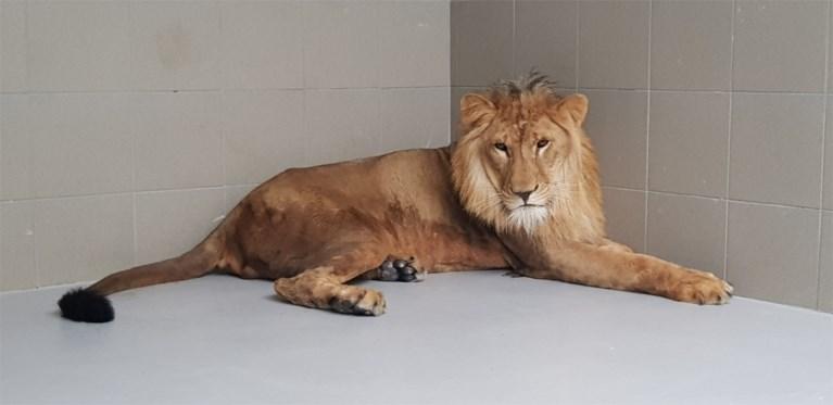Video: Simba de Leeuw uit Bagdad op vliegveld Beek geland