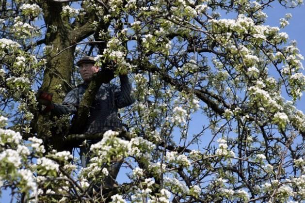 Gemeente Gulpen-Wittem 'soepel' met kappen hoogstamfruitbomen