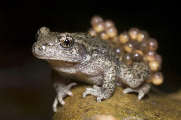 Natuurmonumenten: zeldzame vroedmeesterpad weer gehoord in Mheer