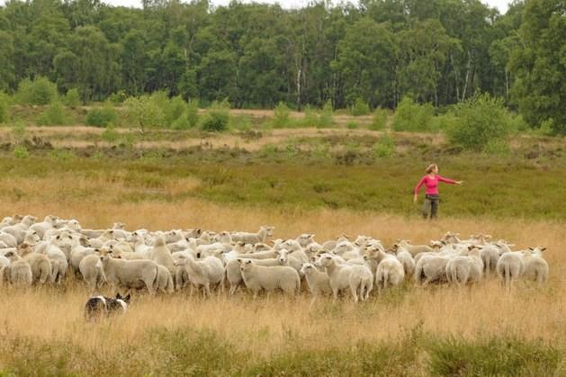 Schaapsherder met kudde aan het werk op Landgoed de Hamert