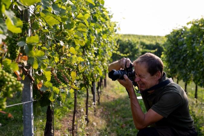 'Horrorhitte'? Limburgse wijnboer laat zich niet gek maken, ondanks 'zonnebrand' in druiven