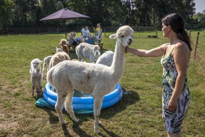 Picknicken, knuffelen en selfies maken met alpaca's in Posterholt