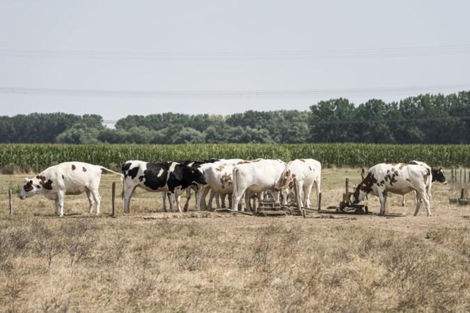 Ook dier in stal en wei heeft te lijden onder verzengende zon