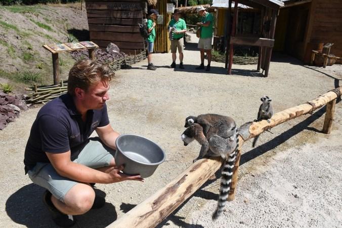 Halfapen en fossa's zijn de nieuwe publiekstrekkers van ZooParc Overloon