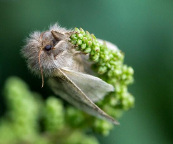 Eikenprocessievlinder heeft paar dagen om de kiem te leggen voor de volgende plaag