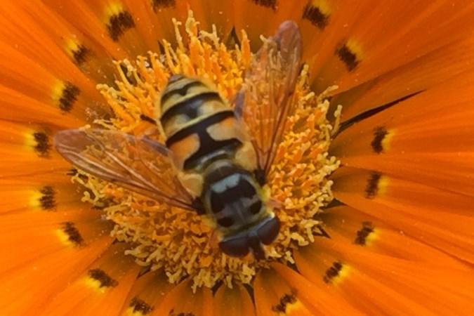 Met hun weldadige gezoem spelen zweefvliegen hun eigen partij in het grote zomerzoemconcert
