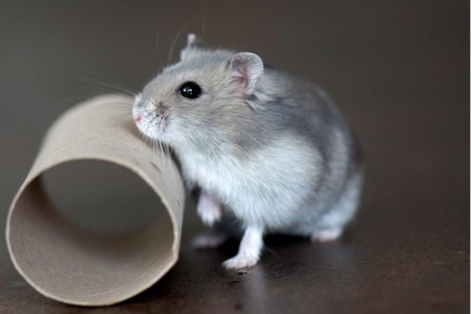 Hamster Knabbel volgde Nelis op, die was vernoemd naar Manke Nelis en Niall van One Direction