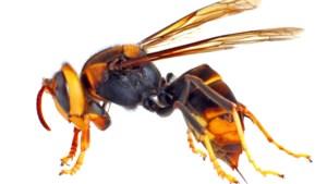 Steek van hoornaar wordt Marie-Thérèse (79) fataal: 'Ze vroeg nog om een zalfje'