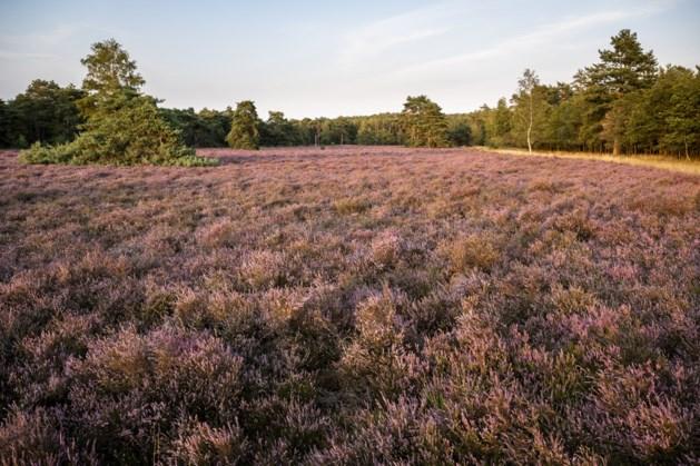 Dankzij regen bloeiende heide in Nationaal Park De Meinweg