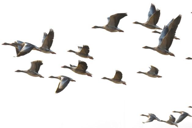 Aantal afgeschoten ganzen in Zuid-Limburg neemt toe