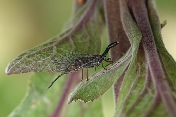 De kameelhalsvlieg kwispelt met haar legboor