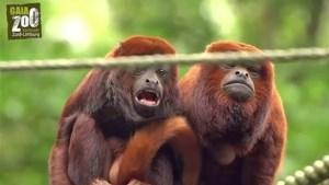 Video: Baby-brulaap geboren in dierentuin Kerkrade