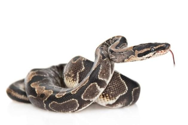 Agenten doen akelige ontdekking: python bewaakt hennepplantage