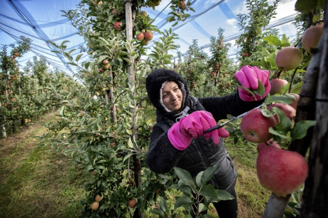 'Rode appels en roze handschoenen tussen groene bladeren'