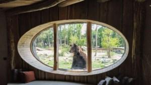 In dierentuin Pairi Daiza koekeloeren de beren bij jou naar binnen