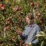 Hoogseizoen in de fruitteelt: precies op het juiste moment plukken