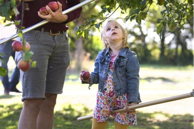 Eerste appelpluk in Sittard
