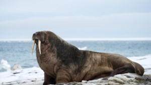Woeste walrus brengt boot Russische marine tot zinken