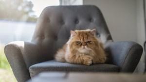 Waarschuwing voor fokkers kortsnuitige katten