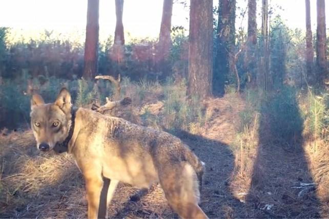Wie heeft wolvin Naya gedood? 20.000 euro voor gouden tip