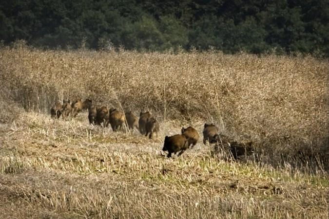 De aanhoudende strijd tegen 'intelligente' wilde zwijnen, die op hun rug over een wildrooster rollen