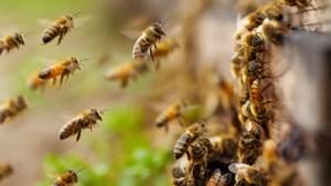 Fipronil oorzaak massale bijensterfte in Brabant