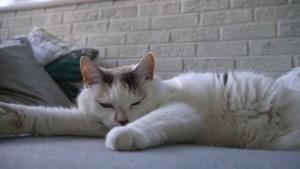 Video: Katten zijn onweerstaanbaar, ook op het witte doek