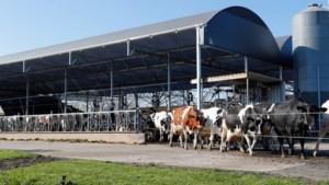 Onenigheid VVD en D66 over verkleining veestapel