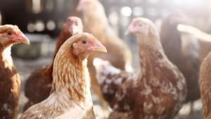 Vrachtwagen verliest kippen op A73 en rijdt door