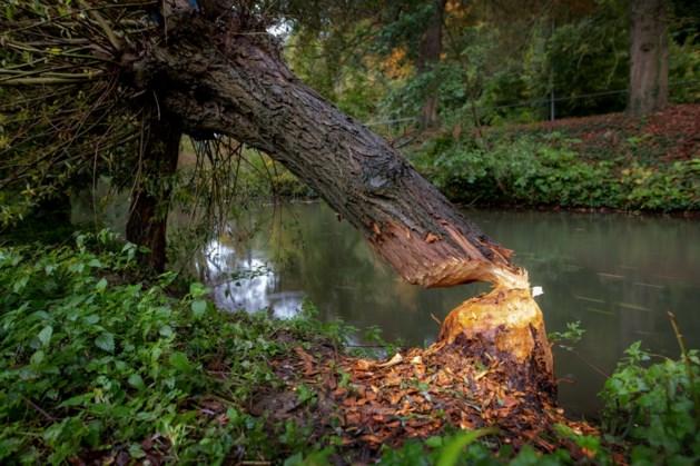 IJverige bevers knabbelen aan wilgen langs Kleine Geul: windvlaag blaast boom omver
