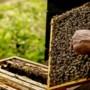 Bijenpoep zorgt voor overlast in Hoensbroek, gemeente gaat bemiddelen