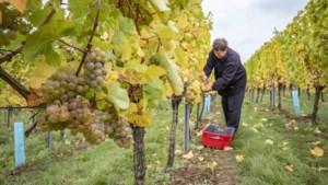 Weer brengt Limburgse wijnboeren in de problemen: te heet, te nat en te koud