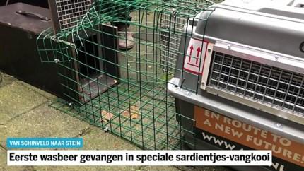 Eerste wasbeer gevangen in speciale sardientjes-vangkooi