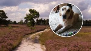 Blaffende hond redt vermiste vrouw (53) op Veluwse hei: 'Bella is onze held'