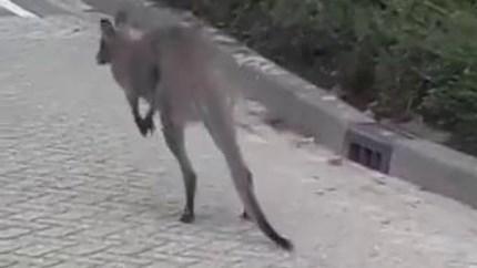 Video: Wallaby hopt door Brabantse woonwijk: 'Niet iets wat we elke dag meemaken'