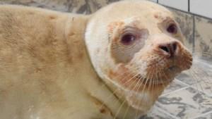 Zeldzame albino zeehond komt ziek maar vol levenslust binnen bij de opvang