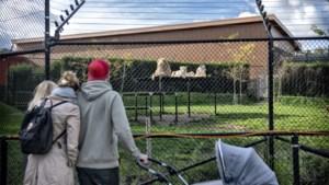 Schrik bij Mondo Verde na sabotage bij leeuwenverblijf: 'Levensgevaarlijk'