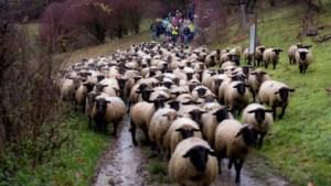 Schapenwandeling richting de stal bij Schaapskooi Mergelland