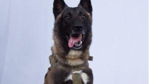 Verwarring over heldenhond die IS-leider opspoorde: Is het Conan of niet?