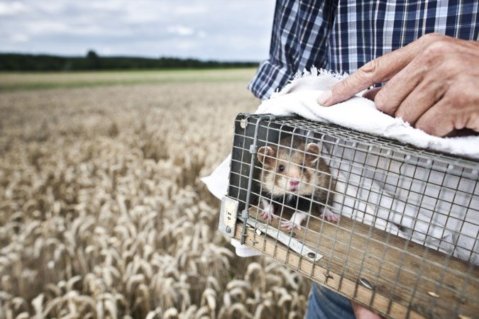 Limburg voorlopig nog vast aan peperdure korenwolf