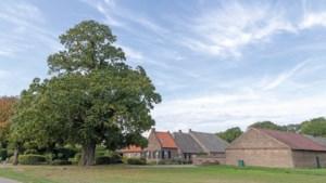 Vier monumentale bomen en hun verhalen: 'Geen boek in Zuid-Limburg waar deze boom niet in staat'