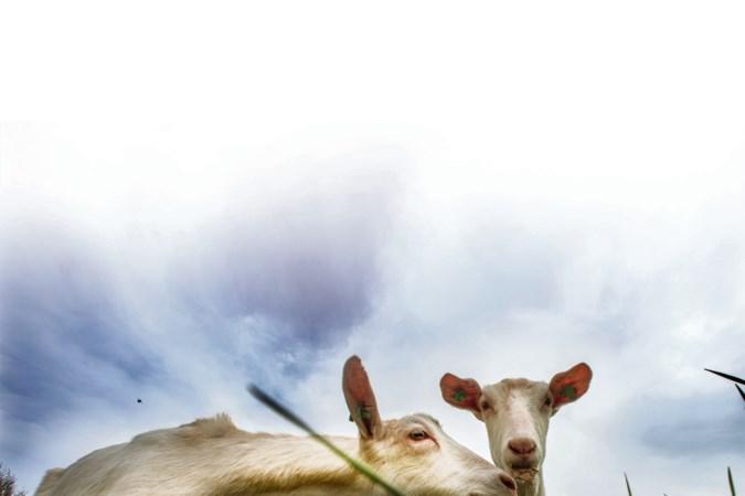 Besluit 'geitenstop' waarschijnlijk ongeldig, volgende week nieuwe stemming