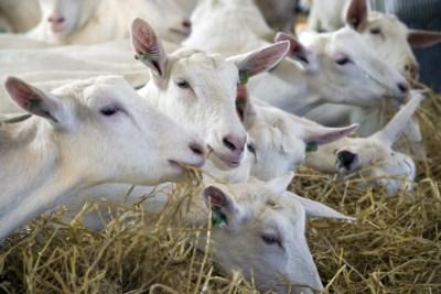 Provincie zet streep door boerderij met duizend geiten in Altweerterheide