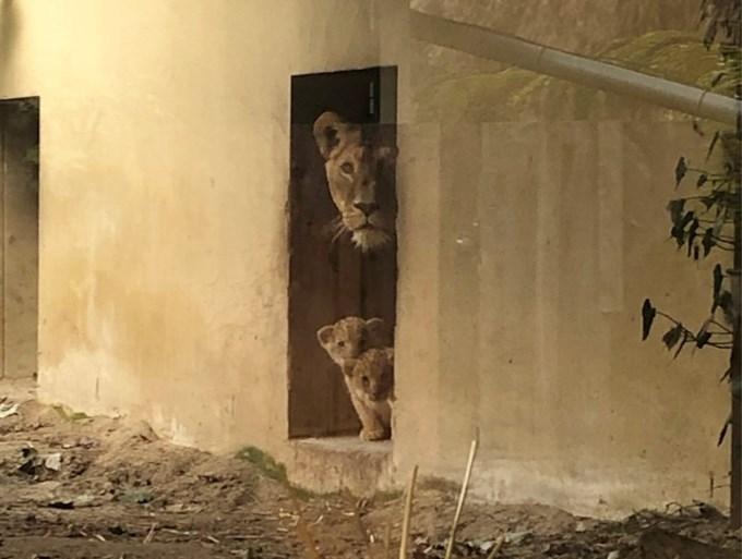 Schattige beelden: Afrikaanse leeuwenwelpen geboren in GaiaZOO