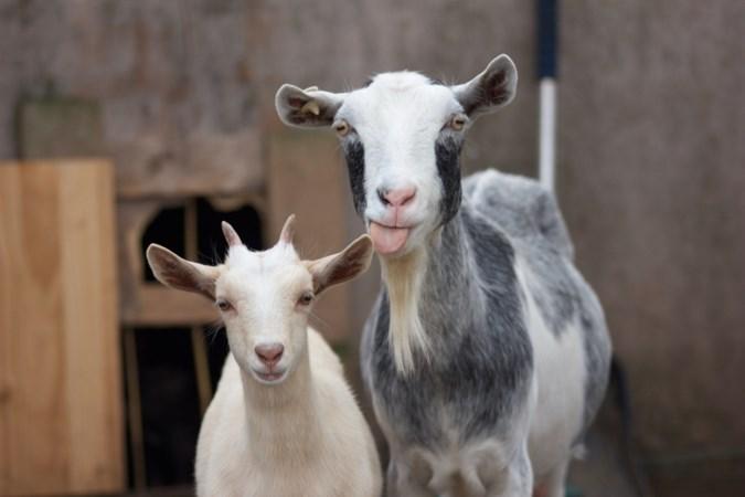 Limburg enige provincie waar aantal geiten vorig jaar is gedaald